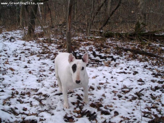 Bull Terrier, 10, White, Exploring some Wisconsin woods, camouflaged!  In Memory of Spot 'Balanced Beauty' Gavin 2007