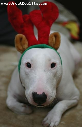 Bull Terrier, 2 years, White, its christmas