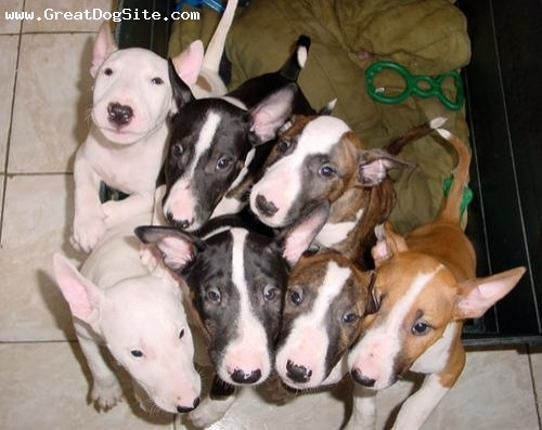 Bull Terrier, 3 months, Mixed, newborns