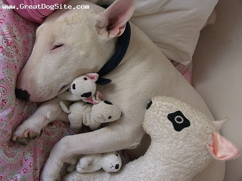 Bull Terrier, 3 years, White, Nap time