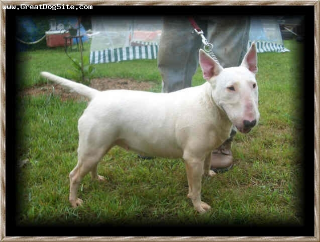 Bull Terrier, 3, White, Bannon is a 3 year old female Bull Terrier. She has champion bloodlines from UK. Her character, disposition, and conformation are outstanding. She's a fantastic Bully!