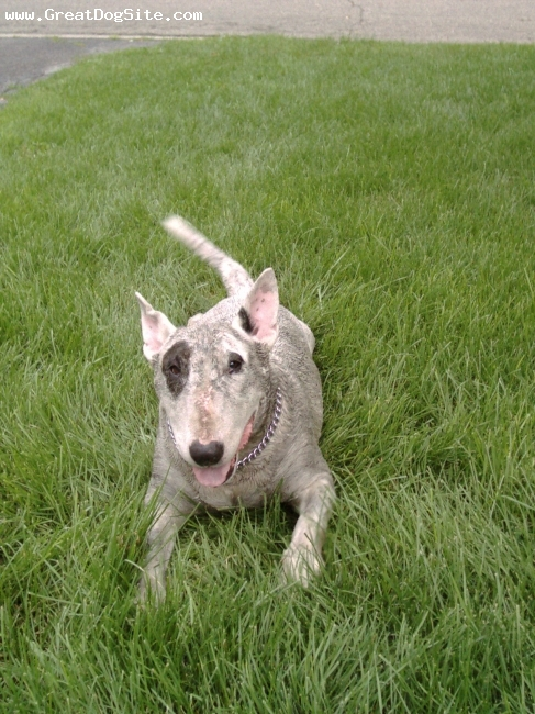Bull Terrier, 9, White, Spot after a 'dip' in a nearby swamp!  In memory of Spot 'Balanced Beauty' Gavin