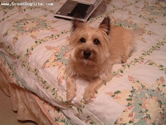Cairn Terrier, 7, Beige, Jenny waiting for something exciting to happen...