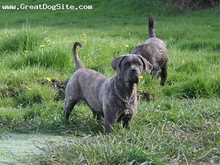 Cane Corso Italiano, 1, blue brindle, mamasita is born in sweden