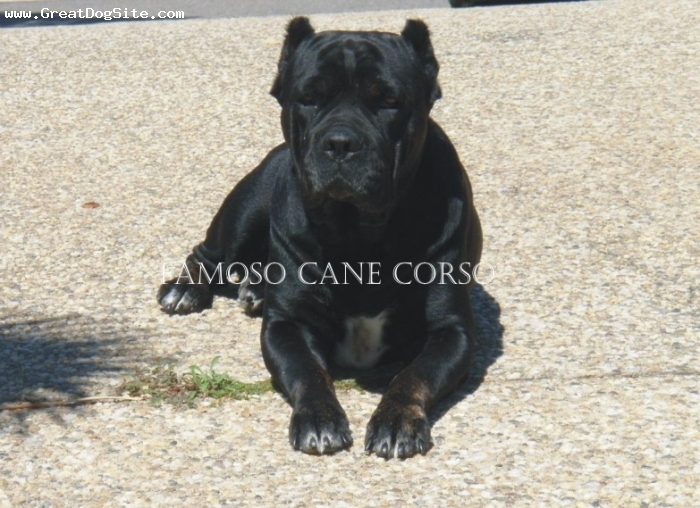 Cane Corso Italiano, 5, black, CACIB (International Champion of Beauty) Champion 2004