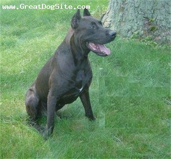 Canis Panther, 2 years, Black, Photo courtesy of Rock of Ages Kennel.