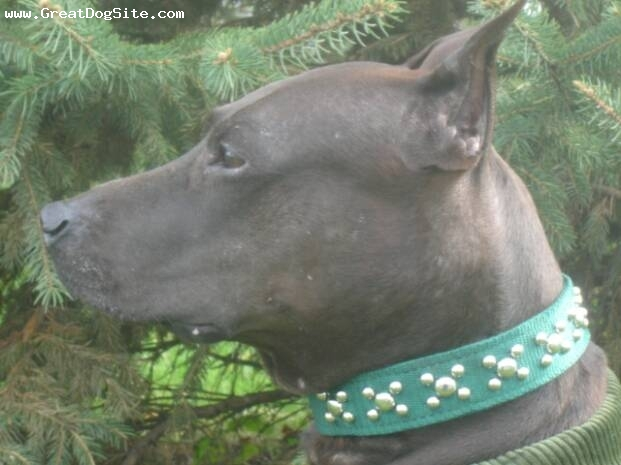 Canis Panther, 2 years, Blue, Photo courtesy of Rock of Ages Kennel.