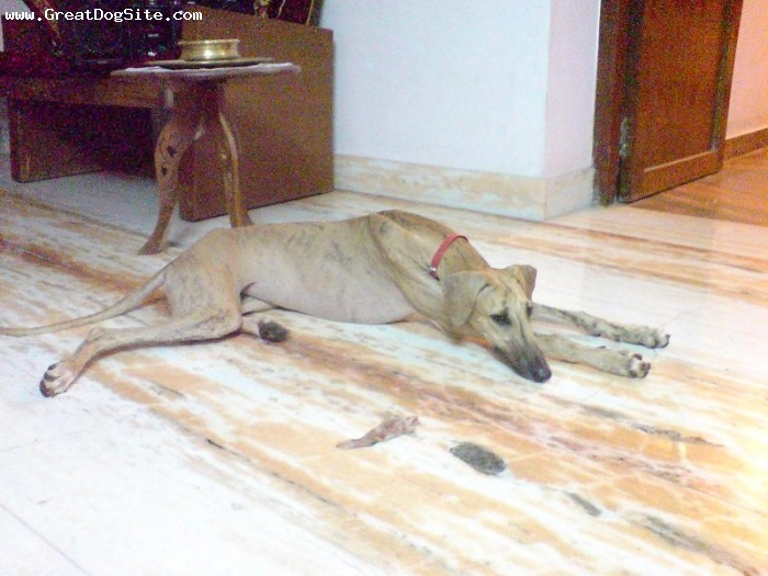 Caravan Hound, 11 months, Brindle, Very active cheerful dog,  kanaykumari tamil nadu,