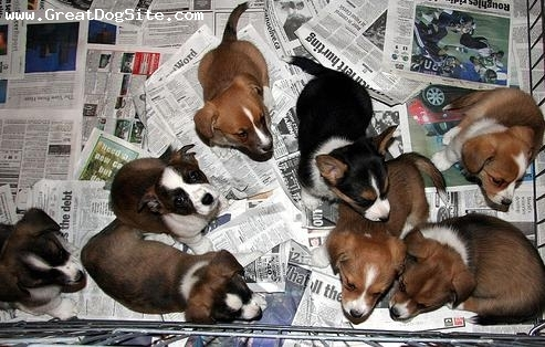 Cardigan Welsh Corgi, 1 month, Mixed, The newborn puppies