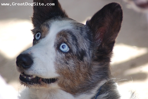Cardigan Welsh Corgi, 1 year, Blue Merle, blue eyes