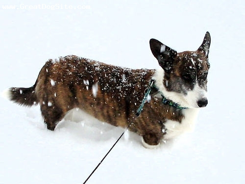 Cardigan Welsh Corgi, 1 year, Brindle, hes stuck in the snow