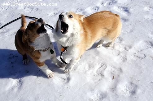 Cardigan Welsh Corgi, 1 year, Brown, playing in the snow