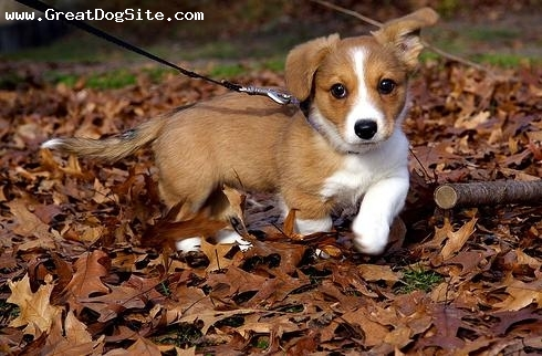 Cardigan Welsh Corgi, 2 months, Brown, my new pup