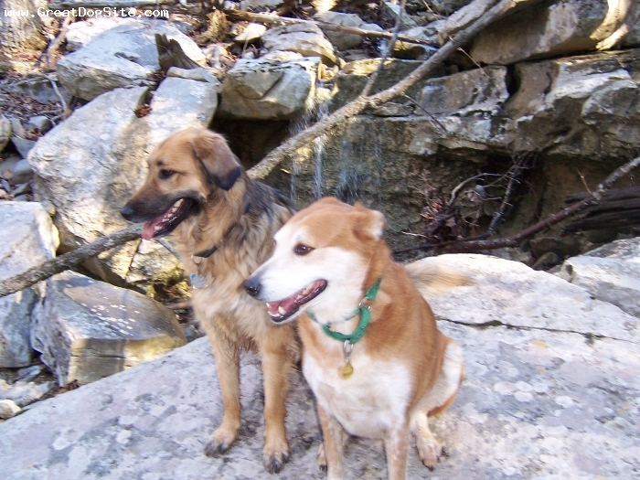 Carolina Dog, 8 years, ginger, Princess Gabby with her best friend Tank who is an English Shepherd