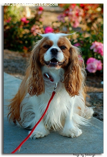 Cavalier King Charles Spaniel, 1 year, Brown, my favorite dog