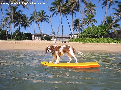 Cavalier King Charles Spaniel, 1 year, Brown, on her board surfing