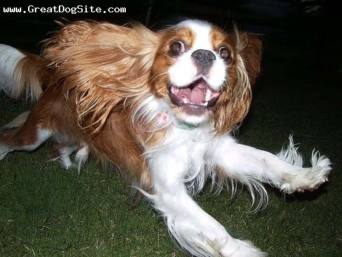 Cavalier King Charles Spaniel, 1 year, Brown, flying