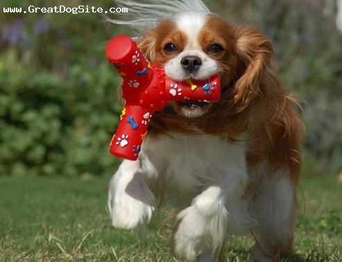 Cavalier King Charles Spaniel, 1 year, Brown, she loves her toy