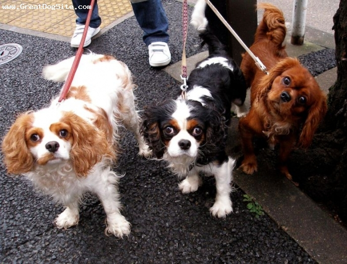 Cavalier King Charles Spaniel, 1 year, Tri Color, My favorite dogs