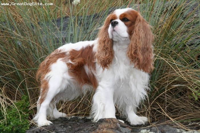 Cavalier King Charles Spaniel, 3 years, Blenheim, Beautiful and a heart to match
