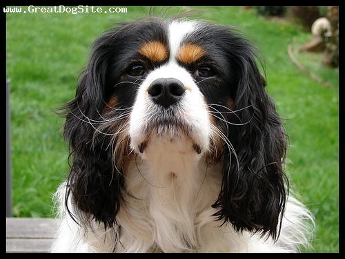 Cavalier King Charles Spaniel, 3 years, Tri Color, another