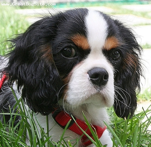 Cavalier King Charles Spaniel, 4 months, Tri Color, great head