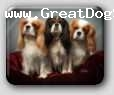 Cavalier King Charles Spaniel, 6, blenheim, Ch. Pascavale Double Take  Ch Northwoods Also In Tru and Yegorov Clifford