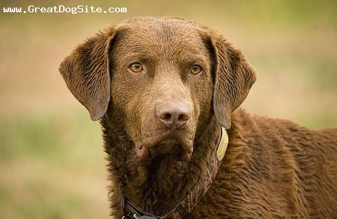 Chesapeake Bay Retriever, 1.5 years, Brown, drying out