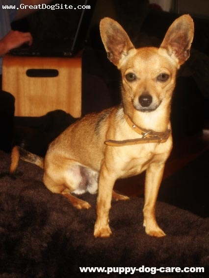 Chihuahua, 1, Brown, Benny is a happy little boy who has SO much personality.