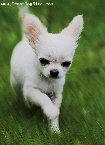 Chihuahua, 3 months, White, my white Chihuahua running around