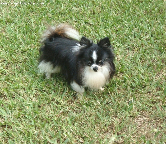 Chihuahua, 3YEARS, BLACK TAN WHITE, AKC CHAMPION  2.6 LBS..LONG COAT