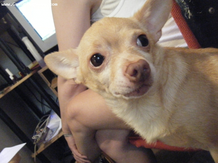 Chihuahua, 6, Tan, Protective