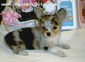Chihuahua, 8 weeks, blue merle, blue merle long coat female she is adorable and loves to give you kisses