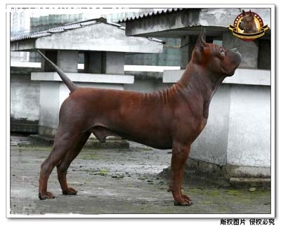 Chinese Chongqing Dog, 1 years, red-brown, www.chongqingdog.cn