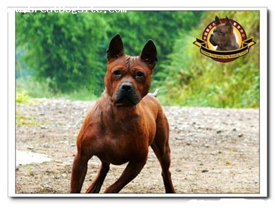 Chinese Chongqing Dog, 3years, red-brown, www.chongqingdog.cn
