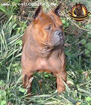 Chinese Chongqing Dog, 5 years, yelllow-brown, www.chongqingdog.cn