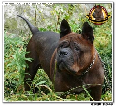 Chinese Chongqing Dog, 6  years, brown, www.chongqingdog.cn