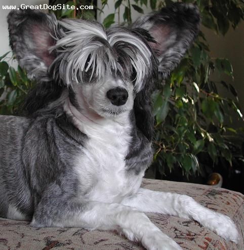 Chinese Crested, 1 year, Black and White, hes getting a little fat