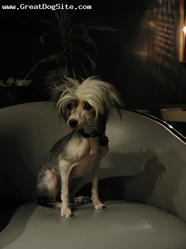 Chinese Crested, 2 years, White, photo op