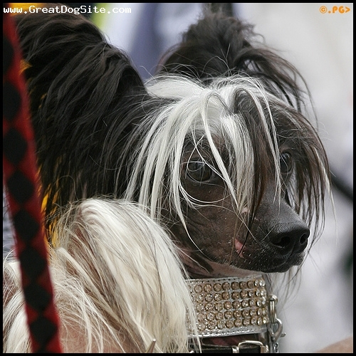 Chinese Crested, 3 years, Black, my little princess
