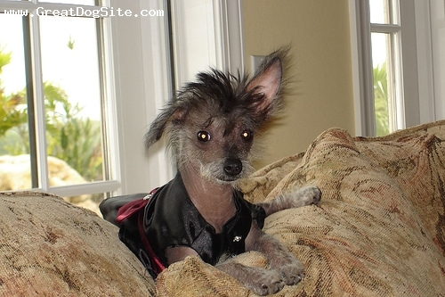 Chinese Crested, 5 years, Black, funny ears
