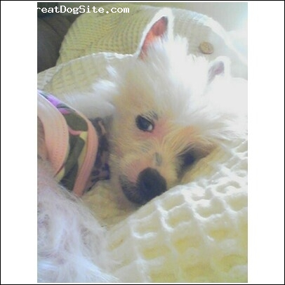 Chinese Crested, 6 months, White and Black, Loves, Loves, Loves to cuddle!