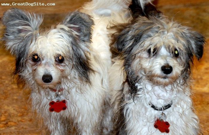 Chinese Crested, 7 & 8  months, Black and White, A closer look at our wet muddy pups.