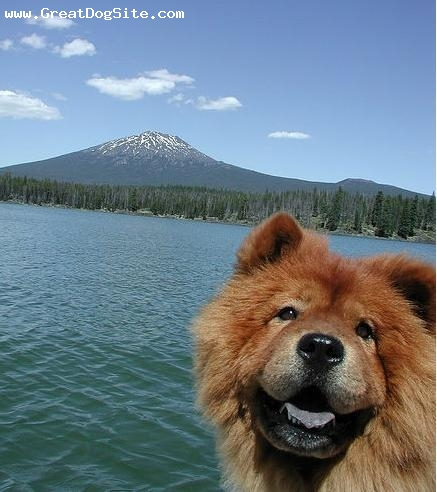 Chow Chow, 1.5 years, Red, sunny day