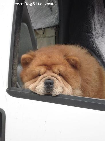 Chow Chow, 2.5 years, Red, hey girl