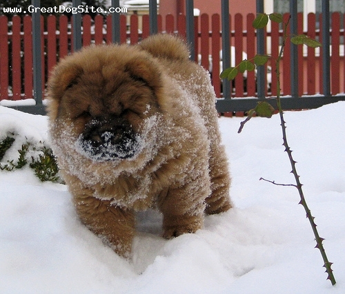 Chow Chow, 3 months, Red, snow face