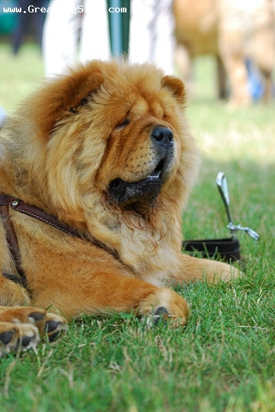 Chow Chow, 3 years, Red, outside hanging out
