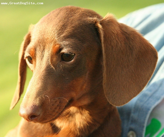 Dachshund, 1 year, Brown, Dachshund face shot