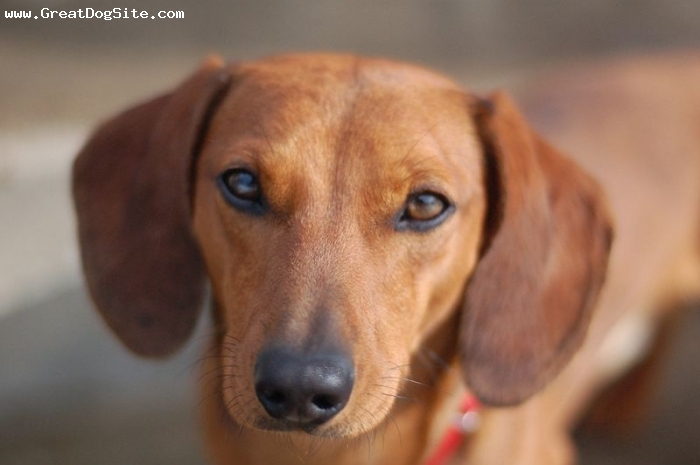 Dachshund, 1 year, Brown, Another Dachshund face shot