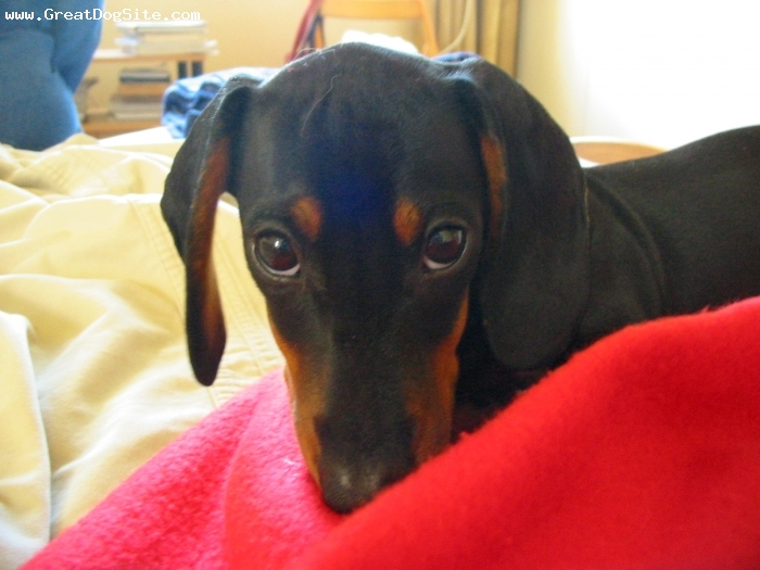 Dachshund, 4 months, black, brown, cute, aint it... ;-)